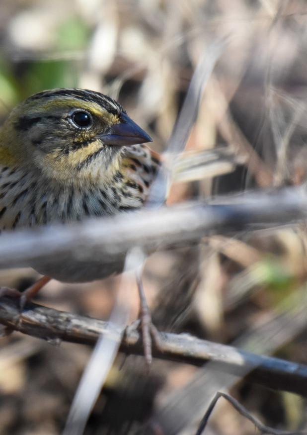 Henslow sparrow
