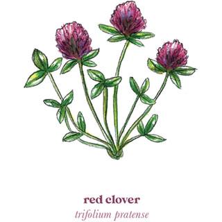 Red Clover Medicine
