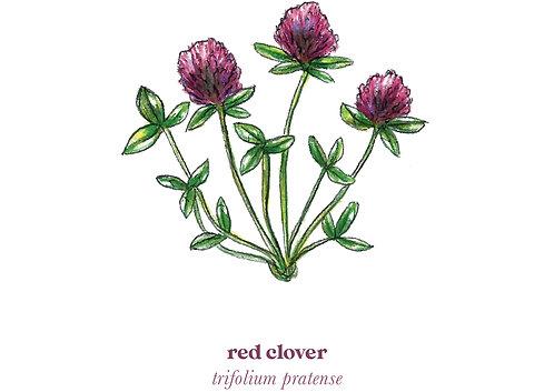 Red Clover Medicine Print