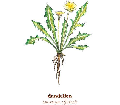 Dandelion Medicine Print