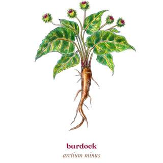 Burdock Medicine