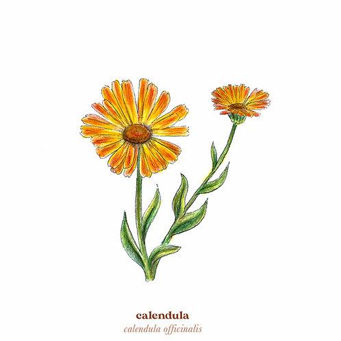 Calendula Medicine Print