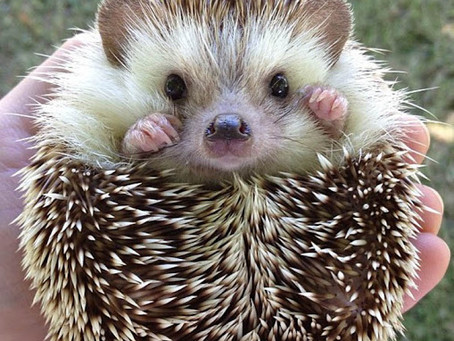 January Blues?  It's Okay to be a Hedgehog!