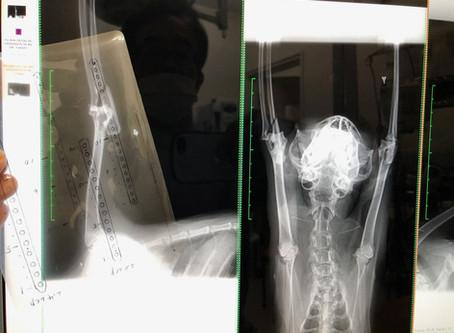 Case #075: 猫のモンテジア骨折w/ファイバーワイヤーを利用, AO分類2-1-A1