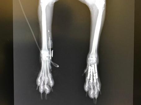 Case #073: 中手骨4本とも骨折のトイプードルちゃん