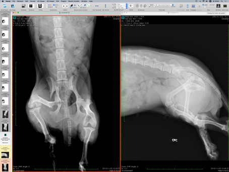 Case #065: 骨盤骨折のミニダックス