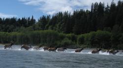Elk crossing Hoh River