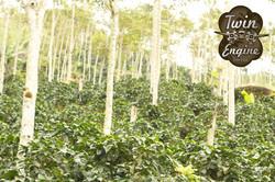 Twin Engine Nicaraguan Coffee Plants