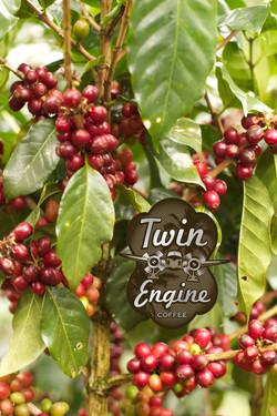 Twin Engine Coffee Plant
