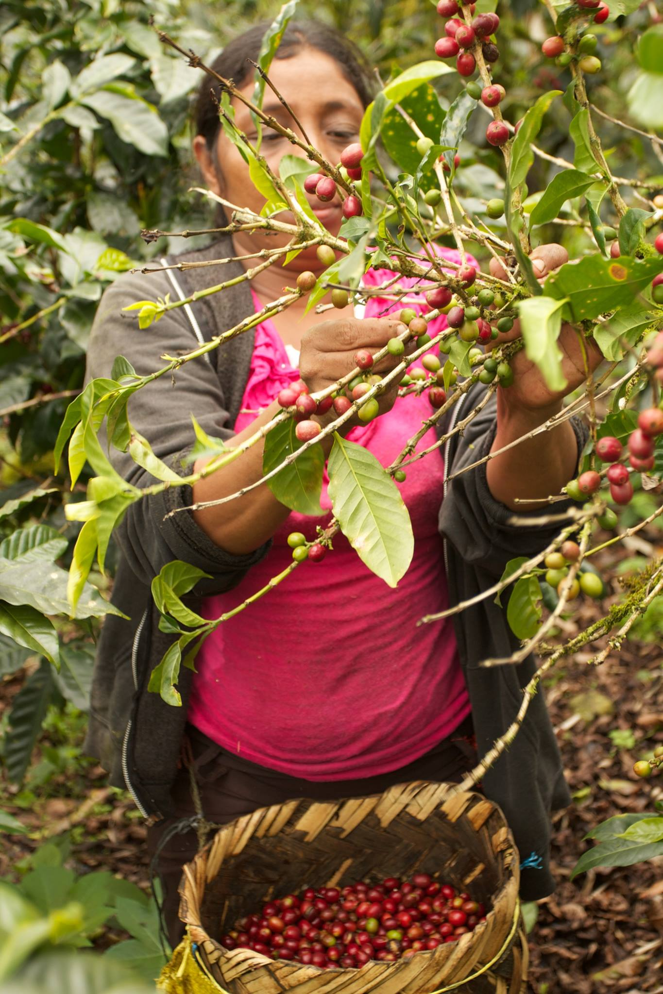 Harvesting Twin Engine Coffee