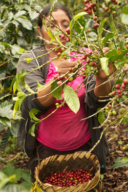 Harvesting Twin Engine Coffee