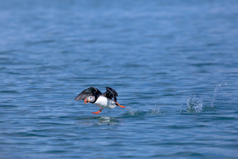 A47I3507_atlantic_puffin.jpg
