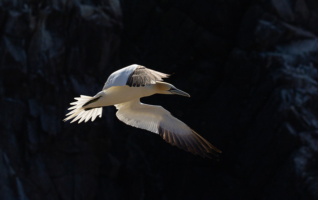 Gannet in flight