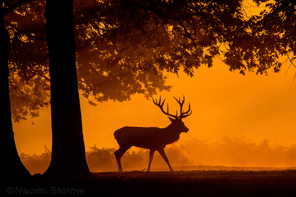 Red stag in Richmond Park