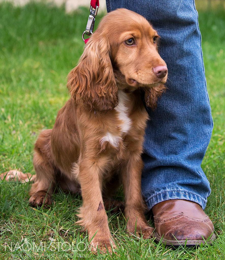 Portrait of a spaniel puppy