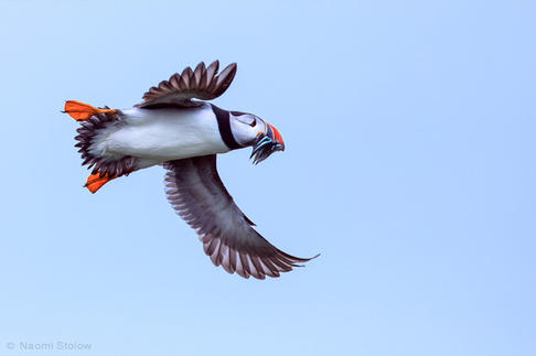 flying-puffin.jpg