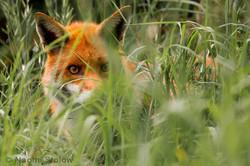 British Red Fox in the grass