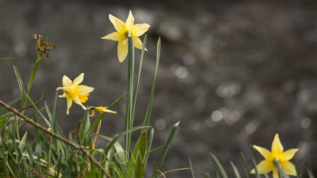 wild daffodil closeup