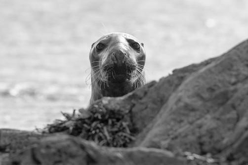 Atlantic grey seal on Bardsey