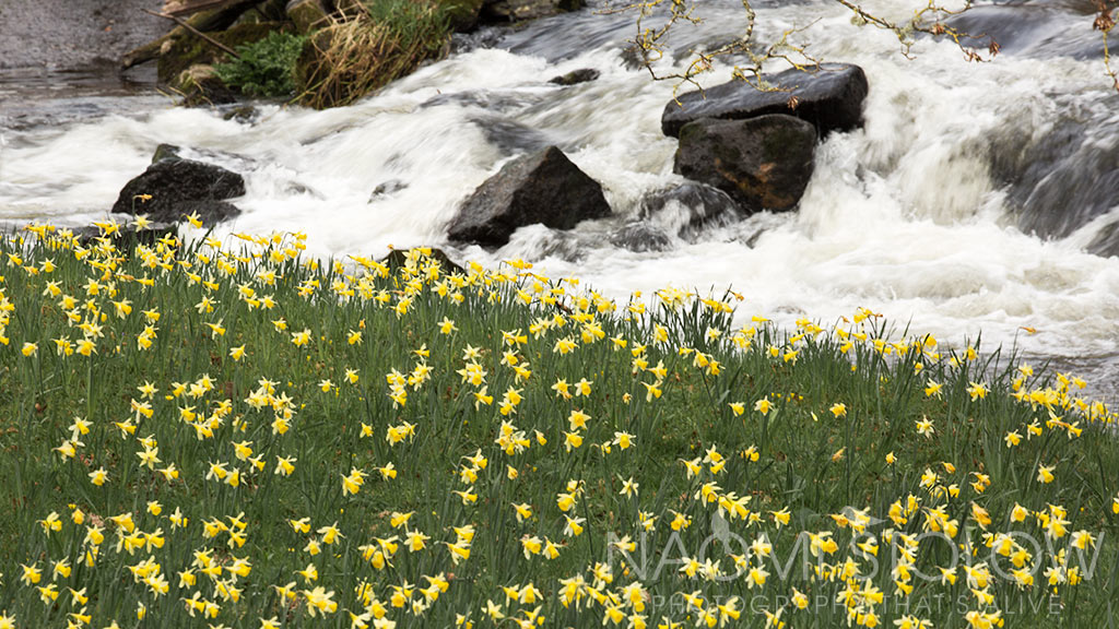 wild daffodils along the river Teign