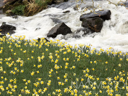 Wild daffodils at Dunsford, East Dartmoor