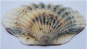 Hedgehog Shell