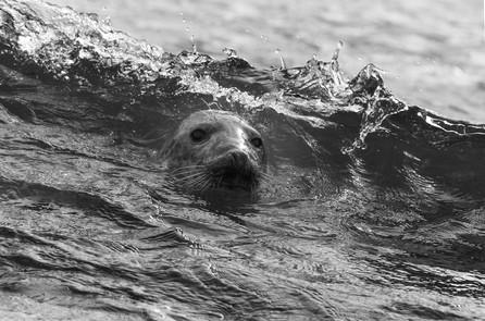 Atlantic grey seal in a wave