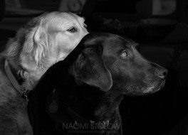 Guide dogs photo portraits