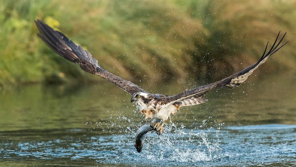 Osprey and catch, Rutland Water © Alex Rosen