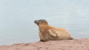 Atlantic grey seal on Teignmouth beach
