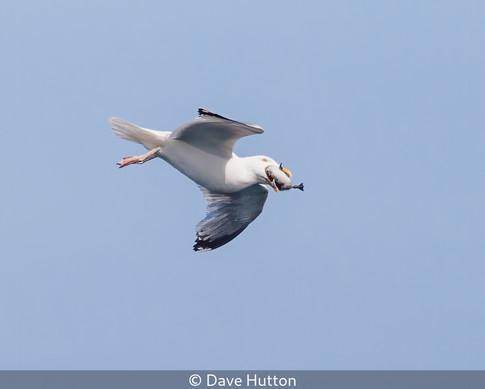 Predating Herring Gull