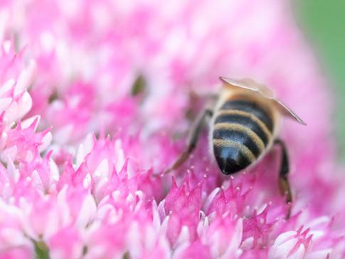 Honeybee bum