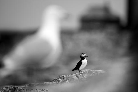 puffin-gull.jpg