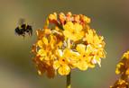 Bee on primula