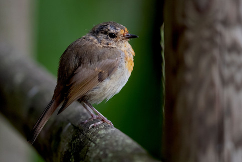 The local Bystock Pools baby robin