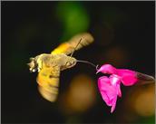 Hummingbird Hawk Moth taking Nectar