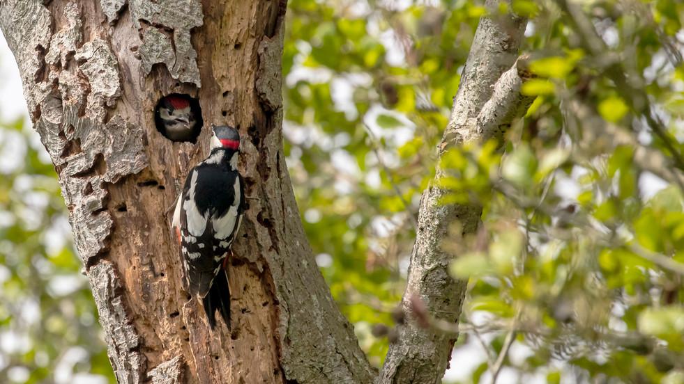 A47I9139_woodpecker.jpg