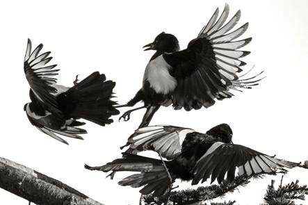 A47I0393_magpies_web.jpg