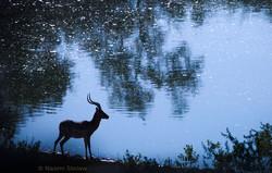 impala-water