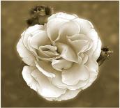 Rose in Mono