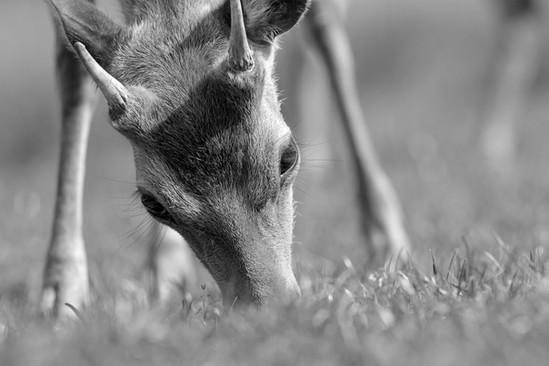 A47I3352_sika_deer.jpg
