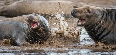 Grey seals Donna Nook