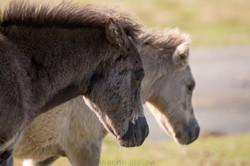 1K4A7948_dartmoor_ponies