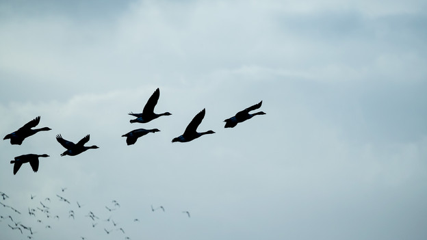Brent geese