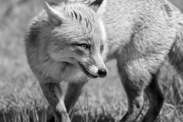 A47I2082_fox.jpg