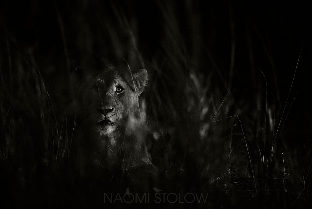 Night lion by Naomi Stolow @Naomi Stolow