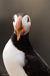 puffin-mouth.jpg