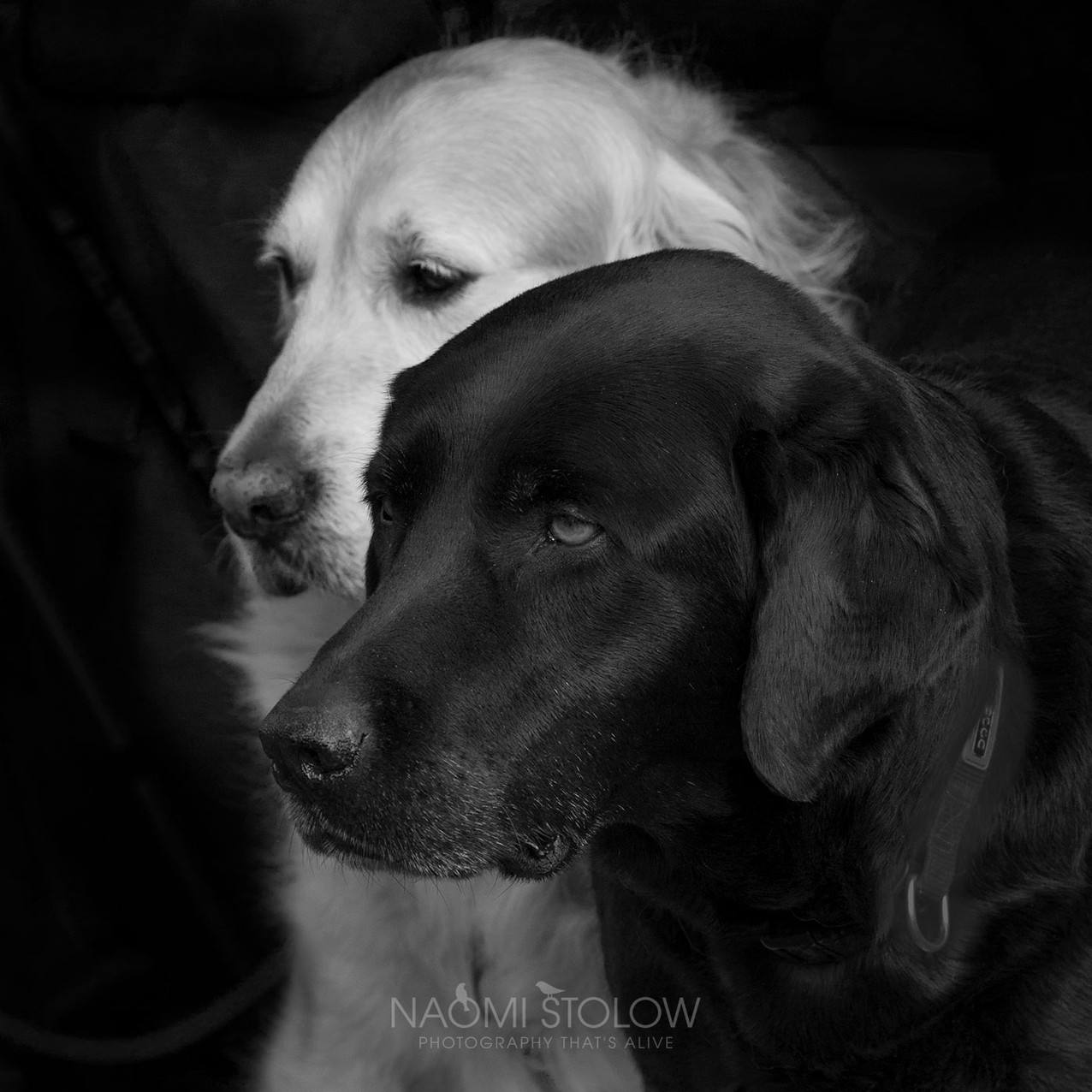 Photograph of guide dogs