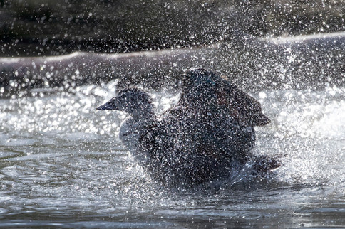 Splashy duck