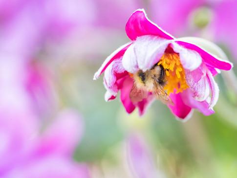 Honeybee in a flower